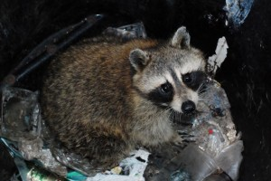 raccoon-in-garbage-can